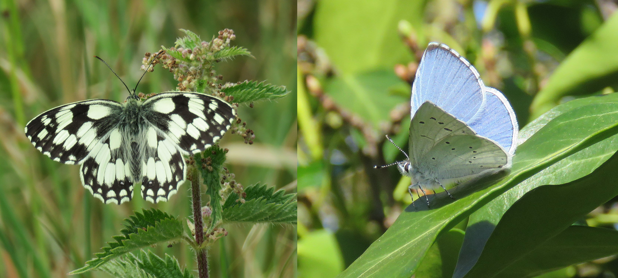 Marbled White butterfly and Holly Blue butterfly have been seen at Warwick Spinney. Photo credit: Benson Nature Group