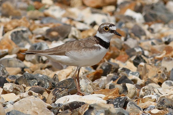 A Little Ringed Plover adult female
