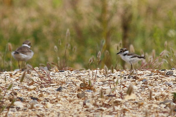 A Little Ringed Plover adult female with chick